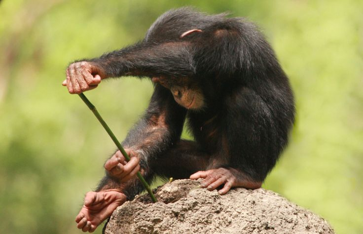 Chimpanzee using a stick