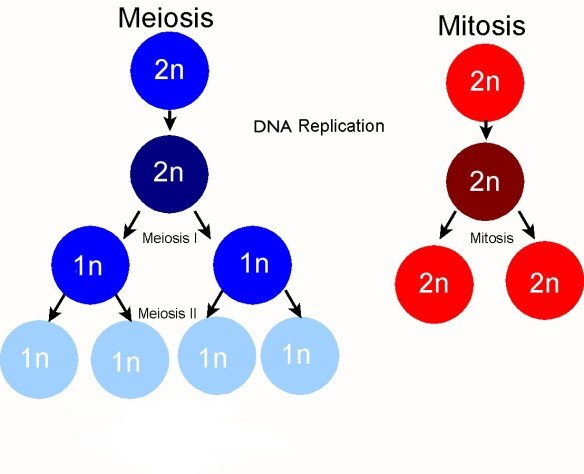 Figure 1: Key differences between meiosis and mitosis (PMG Biology, 2015)