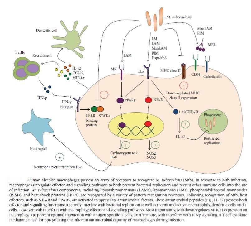 Figure 2: Immune response of alveolar macrophages against Mycobacterium tuberculosis (Sia, Georgieva and Rengarajan, 2015)
