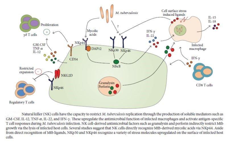 Figure 5: Immune response of natural killer cells against Mycobacterium tuberculosis (Sia, Georgieva and Rengarajan, 2015)