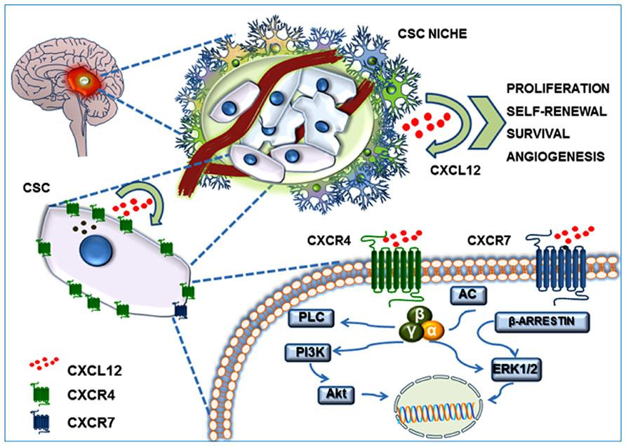 CXCL12/CXCR4-CXCR7 system in the GBM CSC niche