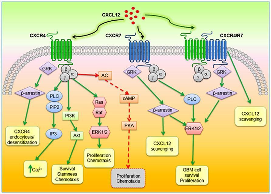 chematic diagram of proposed CXCR4-CXCR7