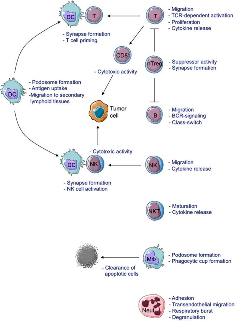Schematic view of cellular defects described in WAS-deficient immune cells