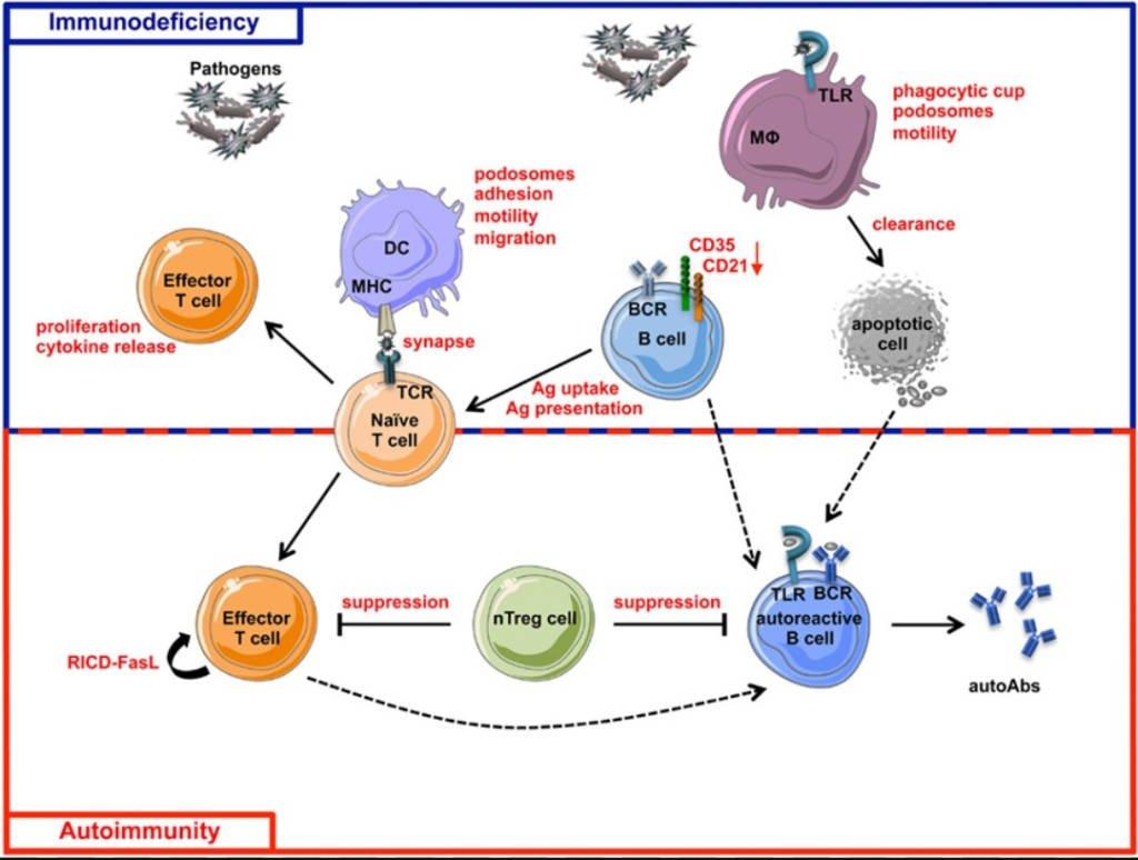 Schematic view of immunodeficiency