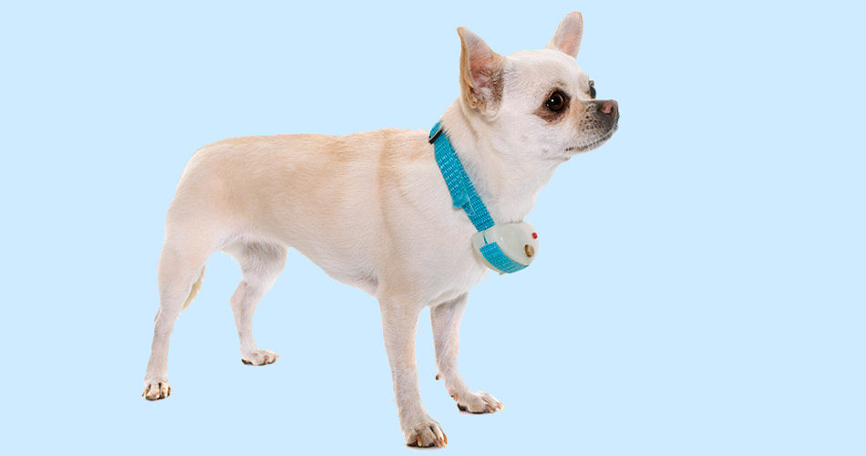 A dog with a shock collar