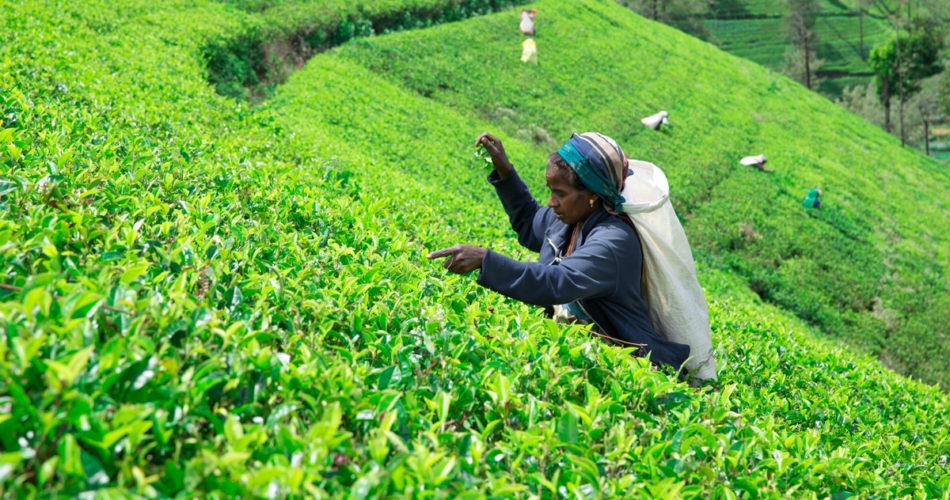 Tea Pluckers in Sri Lanka