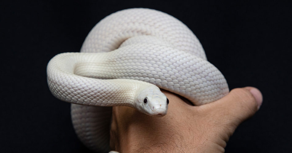 What You Need to Know About Before Getting a Pet Snake
