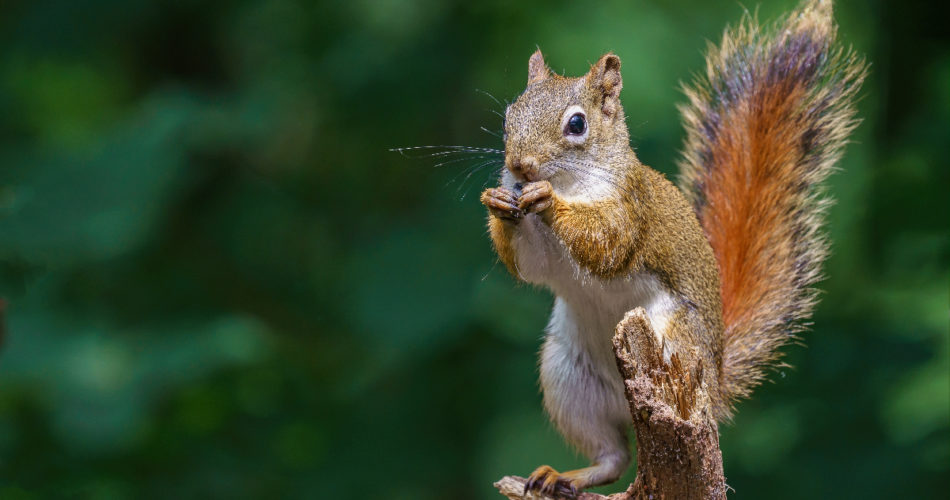 How Much of a Threat Do Squirrels Pose and How to Prepare for It